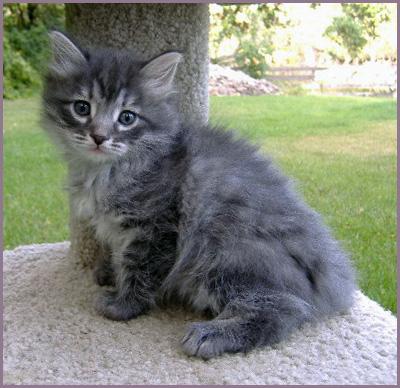 About Siberian Cats :: Golden Dawn Siberians